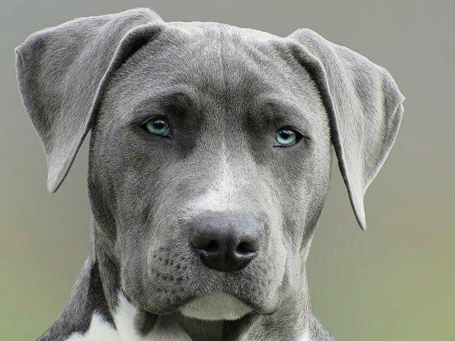 Blue Nose Pitbull