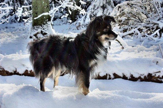 Mini Australian Shepherd Dog