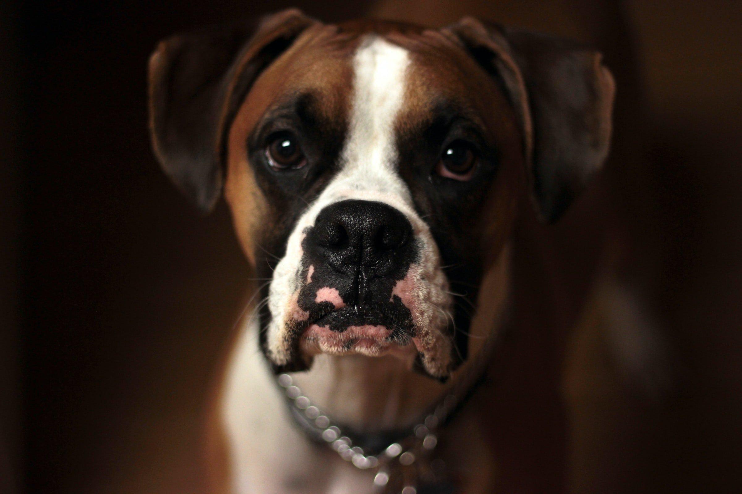 pitbull boxer mix, Bullboxer Pit