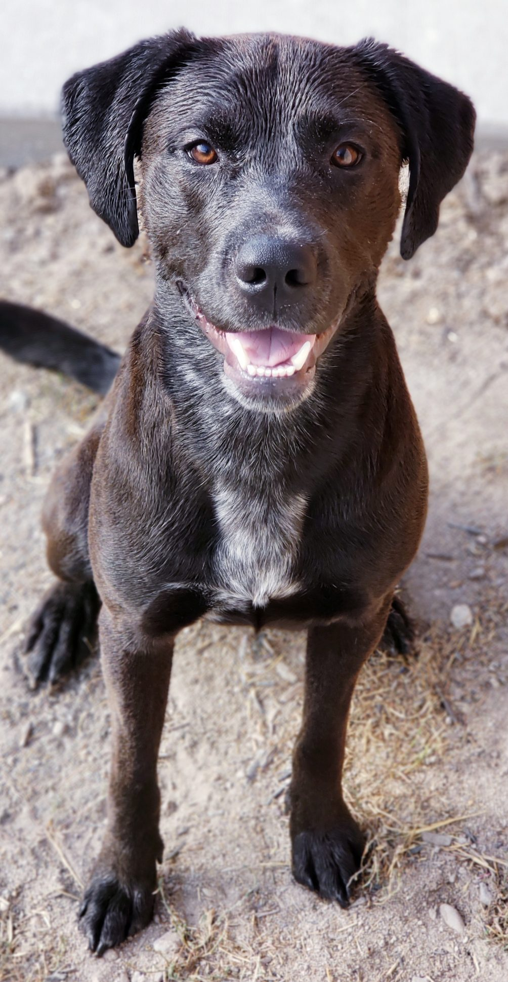 Pitbull Lab Mix, AKA Labrabull