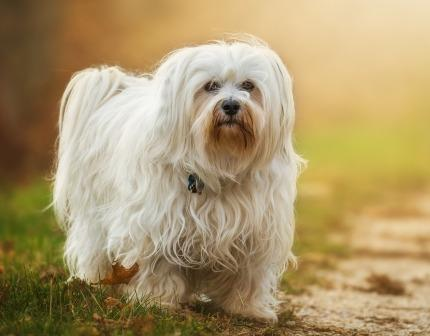 Best Dog Food For Havanese