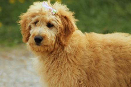 Best Dog Foods For Goldendoodles